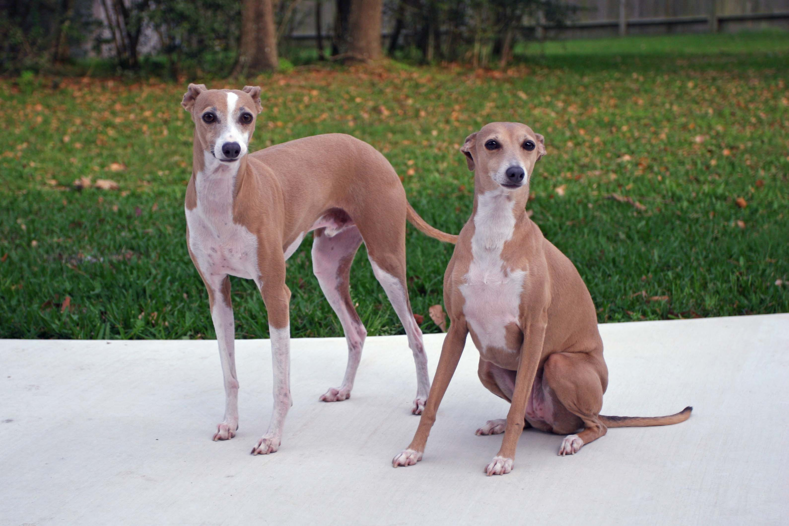 Male and female Italian Greyhound hunting dogs