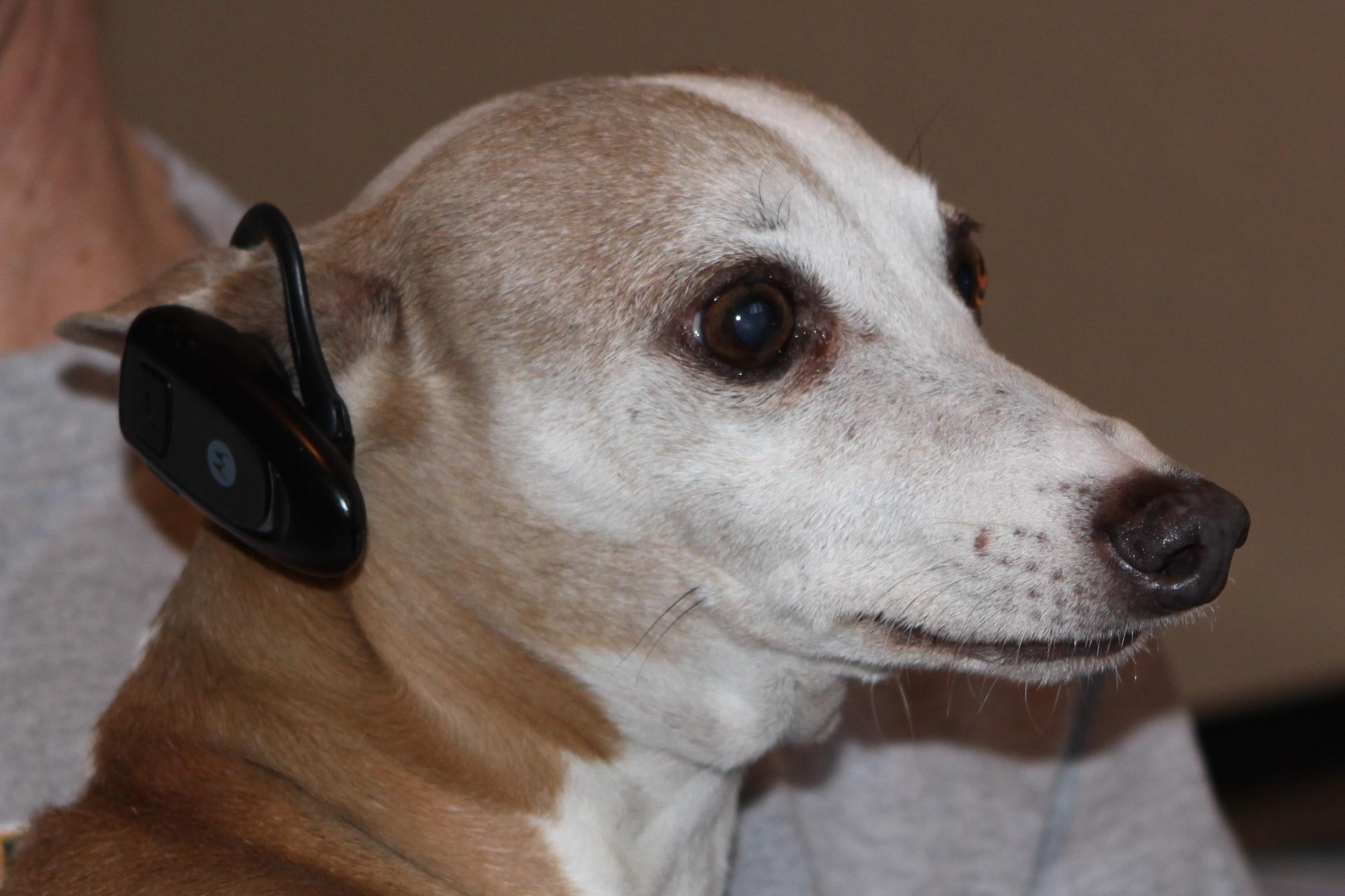 bluetooth dog